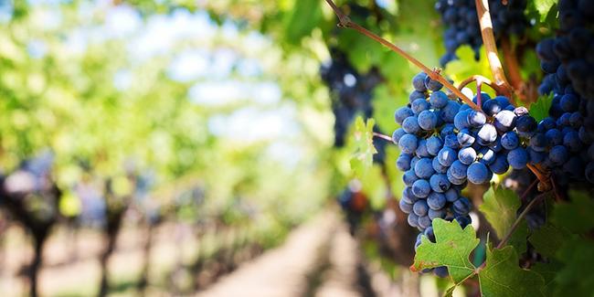 Investir dans un groupement foncier viticole (GFV) : quel avantage fiscal ?